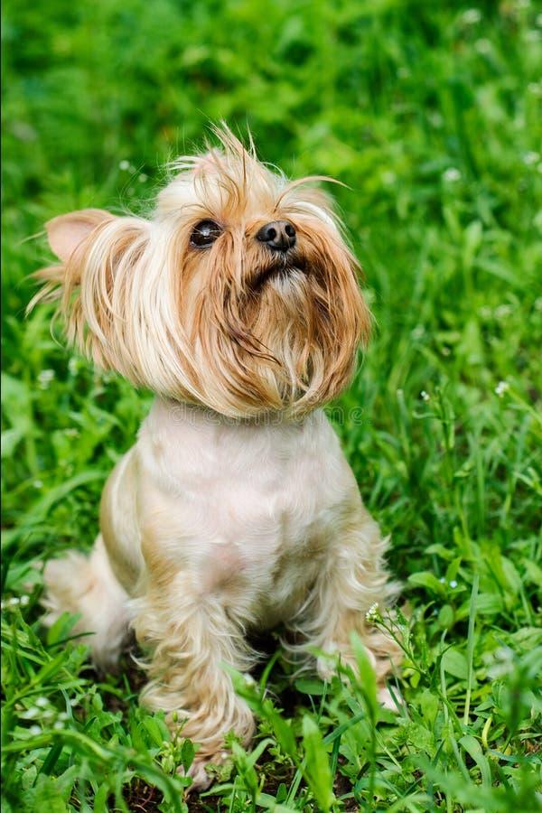 Собака йоркширского терьера на зеленой траве стоковое фото