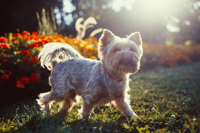 Собака йоркширского терьера на зеленой траве стоковые изображения