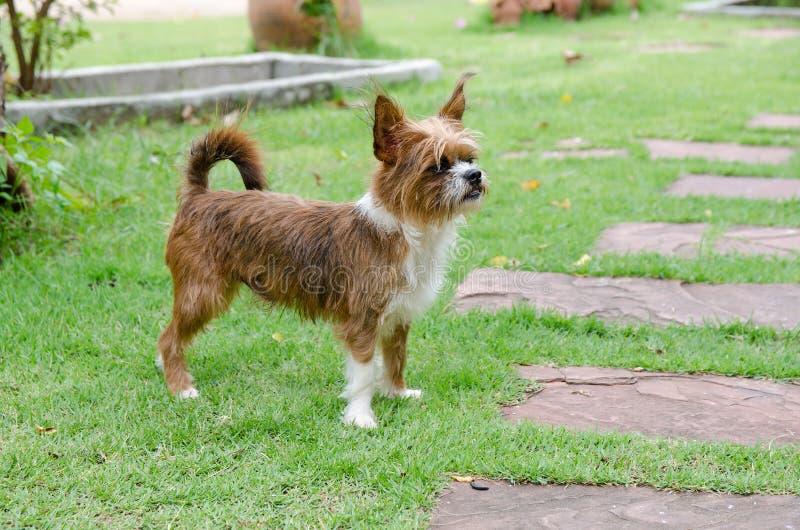 Собака йоркширского терьера на зеленой траве стоковые фото