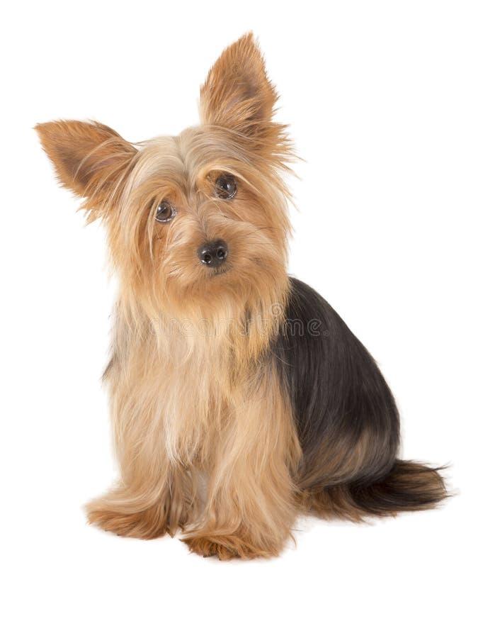 Собака йоркширского терьера стоковая фотография rf