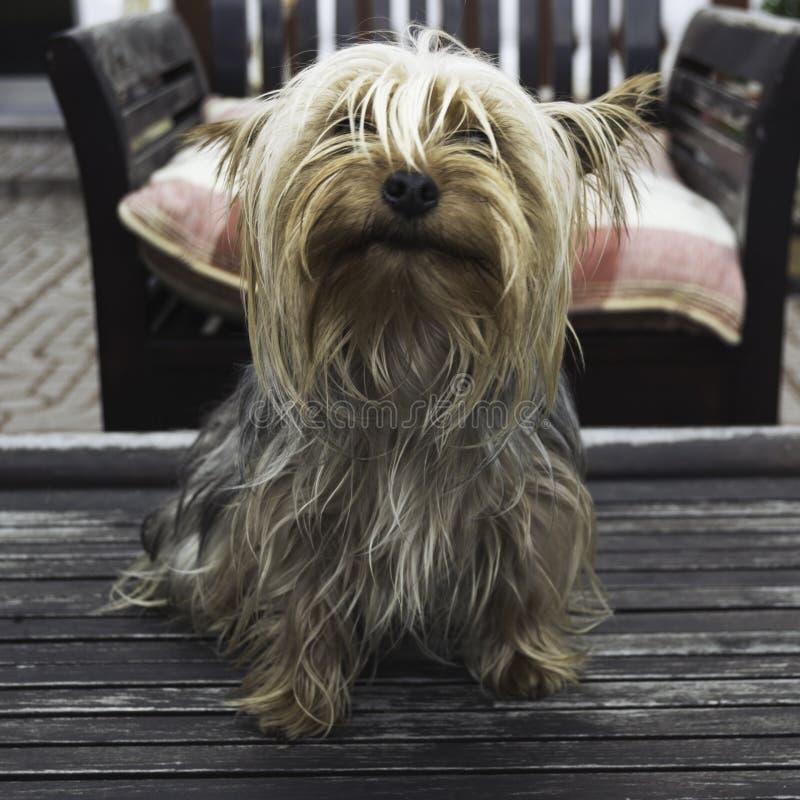 Собака йоркширского терьера стоковая фотография