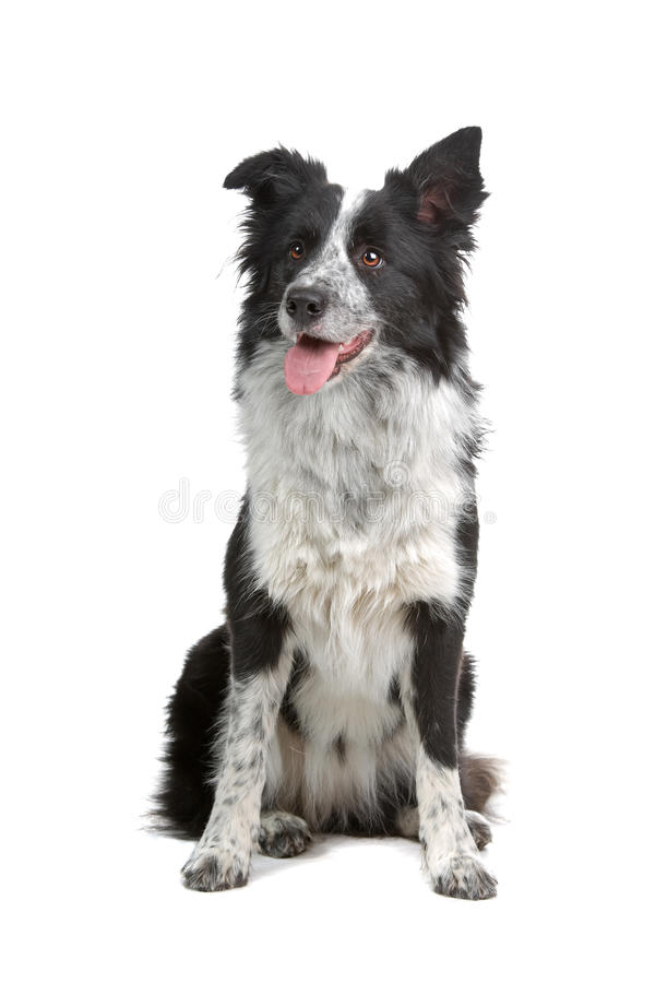 собака Коллиы граници стоковое фото rf