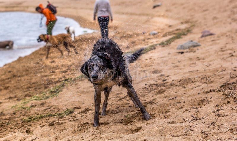 Собака Коллиы границы Merle трясет вне воду в береге пляжа стоковые фото
