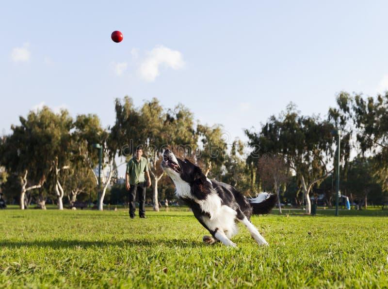 Собака Коллиы границы Fetching шарик на парке стоковые фотографии rf