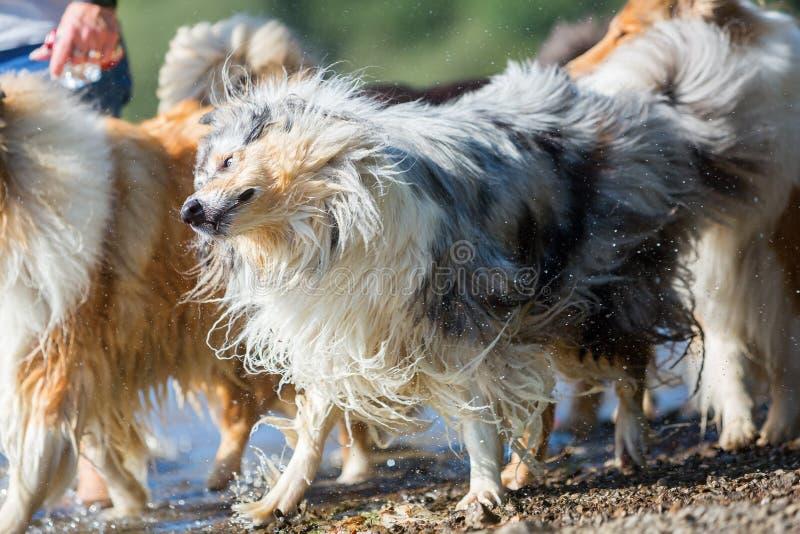 Собака Коллиы трясет мех на озере стоковая фотография