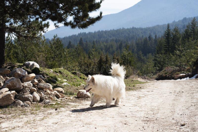 Собака красивого Samoyed сиплая в горе стоковые фотографии rf