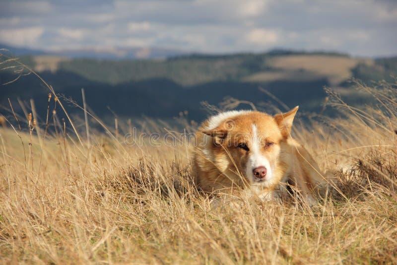 собака Красно-шерстей стоковые изображения rf