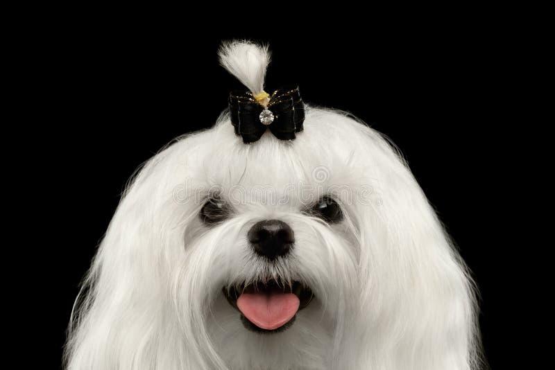 Собака крупного плана счастливая белая мальтийсная смотря в камере изолировала черноту стоковые фотографии rf