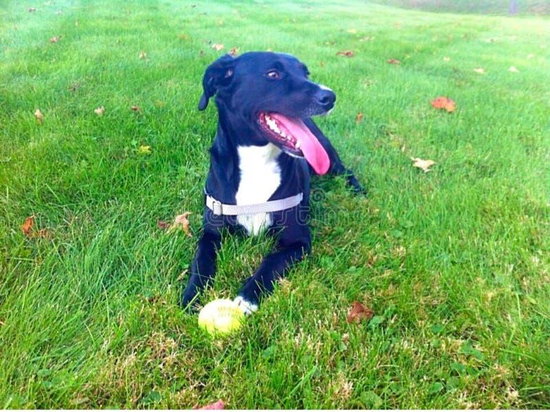 Собака кладя в траву стоковые фотографии rf