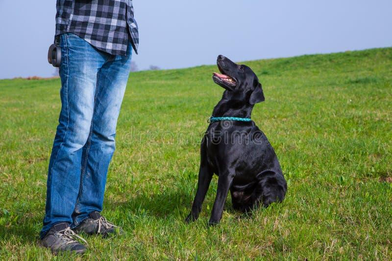 Собака Лабрадора ждет команду стоковая фотография rf
