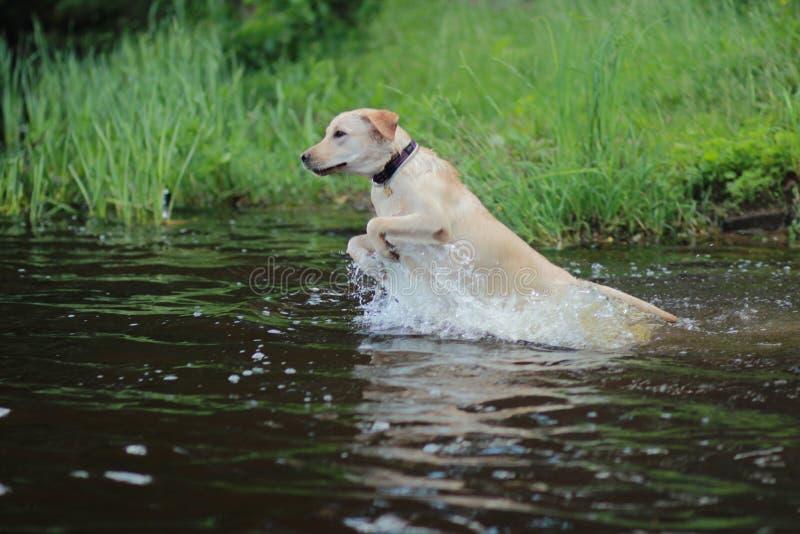 Собака Лабрадор стоковое изображение rf