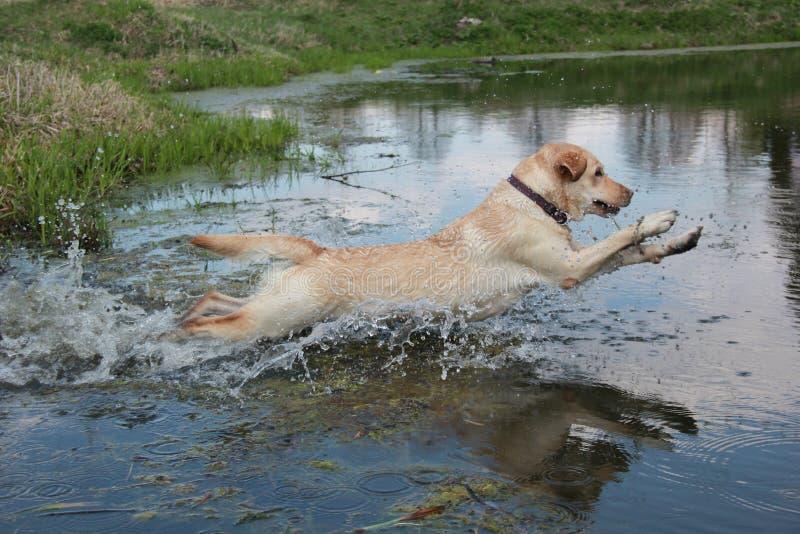 Собака Лабрадор стоковые фото