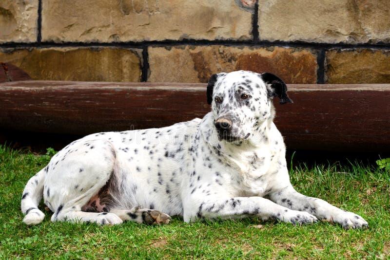 Собака лежа вниз в дворе стоковое фото