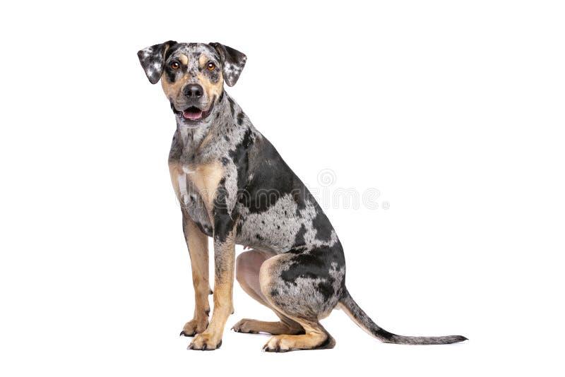 Собака леопарда Луизианы Catahoula стоковые изображения