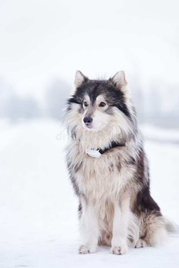 Собака маламута представляя outdoors в зиме стоковые изображения
