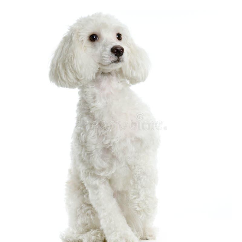 собака мальтийсная стоковая фотография rf