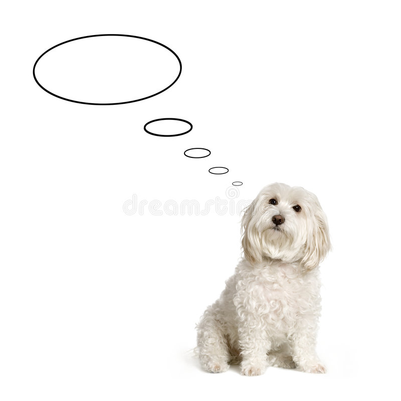 собака мальтийсная стоковые изображения