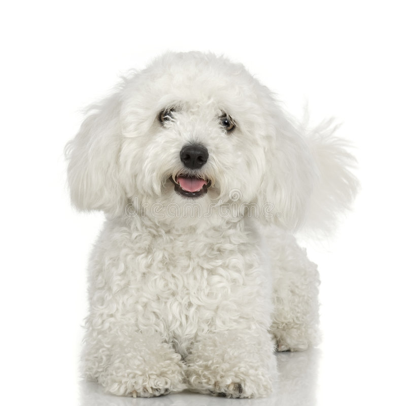 собака мальтийсная стоковые фото