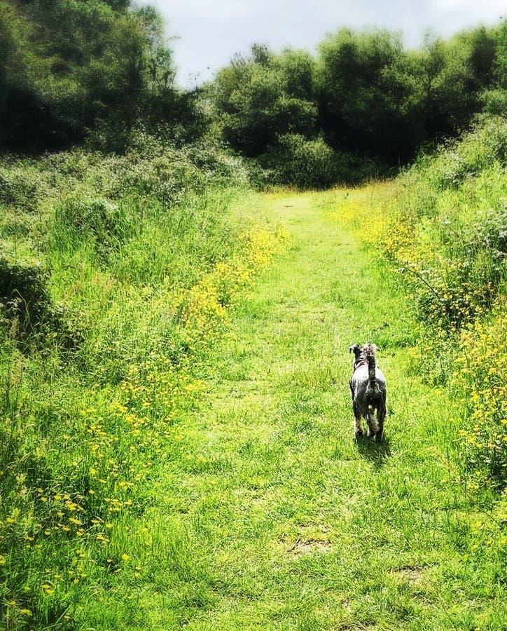 Собака миниатюрного шнауцера идя через выровнянный лютиком путь травы стоковое изображение