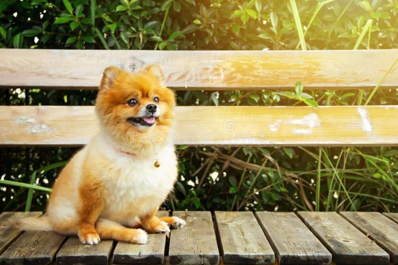 Собака мини коричневое оранжевое Pomeranian сидя на деревянном стуле стоковые изображения rf