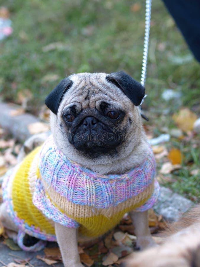 Собака мопса идя весной щенок леса лежа среди желтых цветков в утре и взглядах на камере Собака мопса слушает свое стоковое фото rf