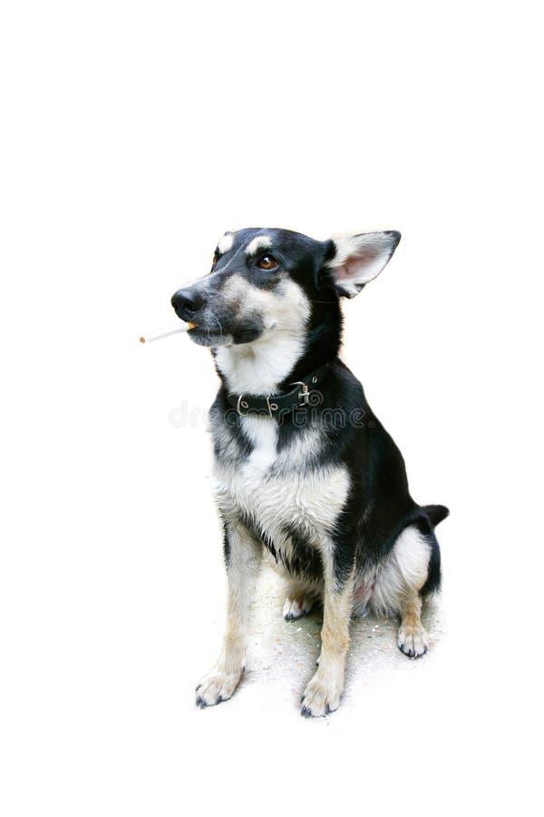 собака над куря белизной стоковая фотография