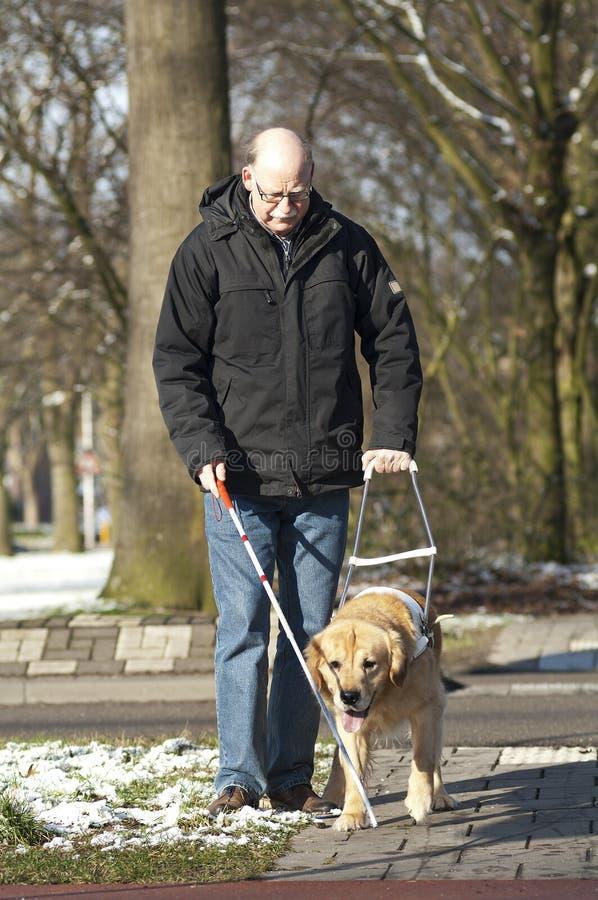 Собака направляющего выступа помогает слепому человеку стоковые фотографии rf
