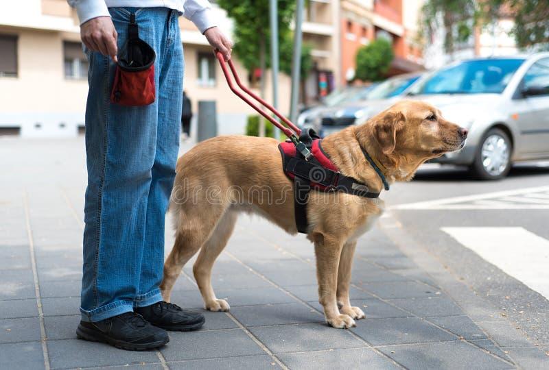 Собака направляющего выступа помогает слепому человеку стоковое изображение rf