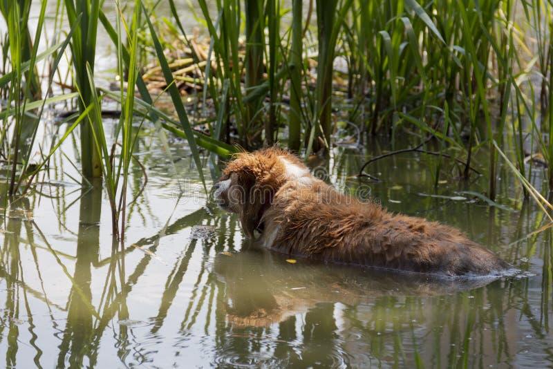 Собака наслаждается крутой водой озера на горячий летний день стоковые изображения rf