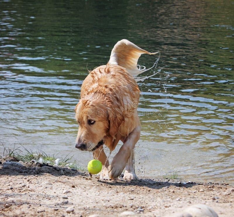 Собака наслаждаясь outdoors выручая теннисный мяч на beautifu стоковые фото