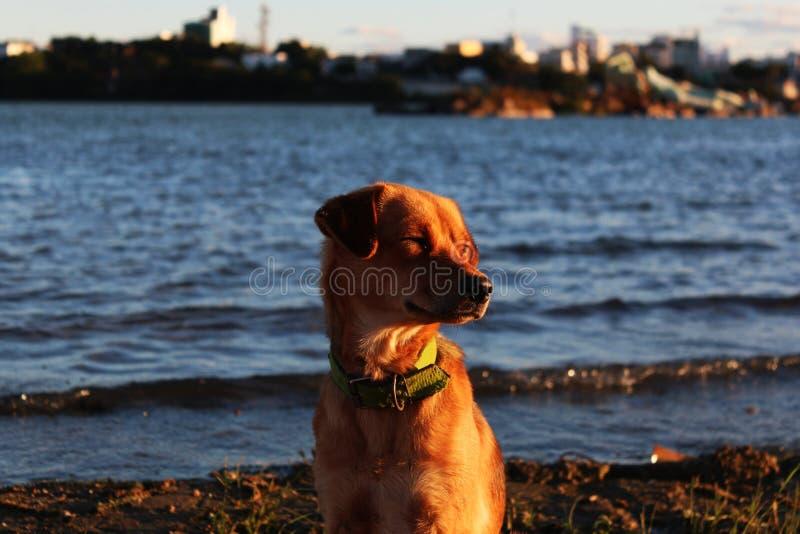 Собака на банке реки São Франсиско стоковое фото rf