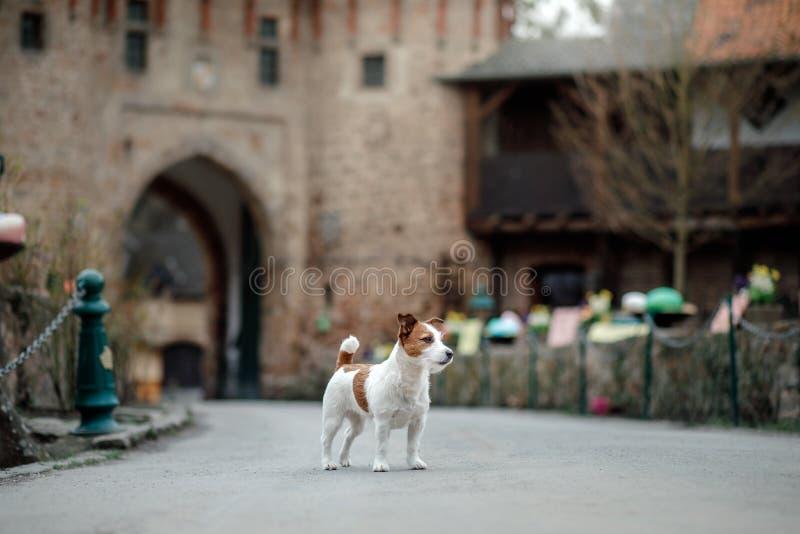 Собака на замке Терьер Джека Рассела в природе Путешествующ с любимцем, город, Европа стоковое фото