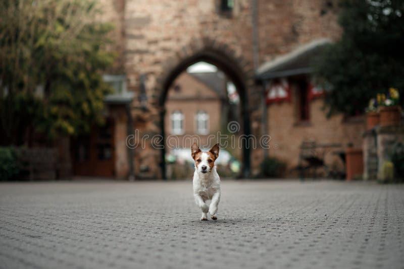 Собака на замке Терьер Джека Рассела в природе Путешествующ с любимцем, город, Европа стоковое изображение