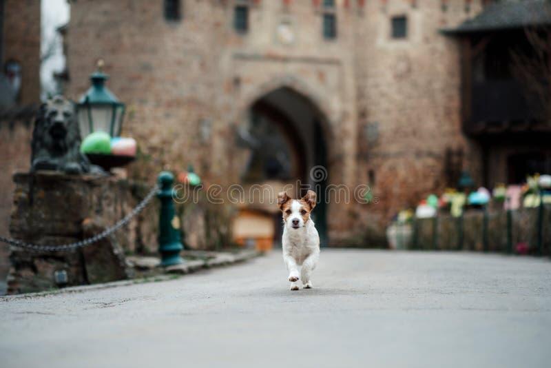 Собака на замке Терьер Джека Рассела в природе Путешествующ с любимцем, город, Европа стоковая фотография