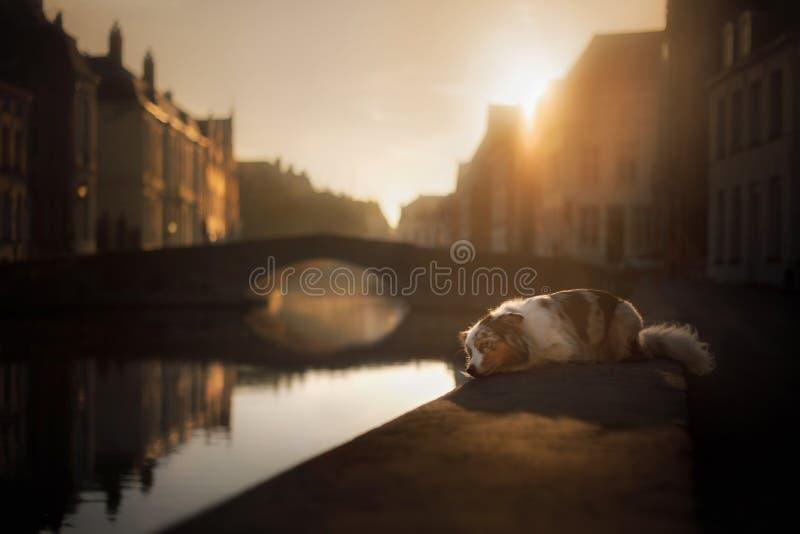 Собака на портовом районе на восходе солнца Любимчик на природе Австралийский чабан, австралийский стоковая фотография
