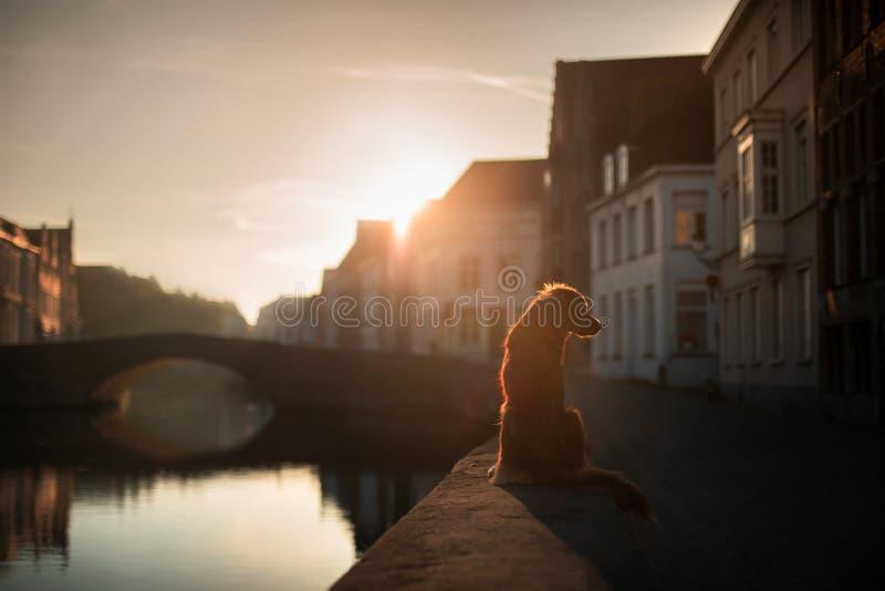 Собака на портовом районе на восходе солнца Любимчик на природе Retriever утки Новой Шотландии звоня, Toller стоковые фото