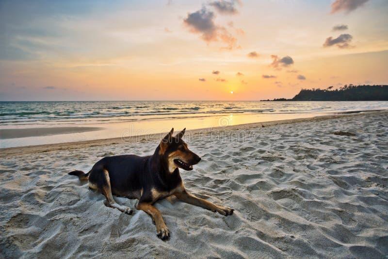 Собака на пляже на заходе солнца стоковое изображение
