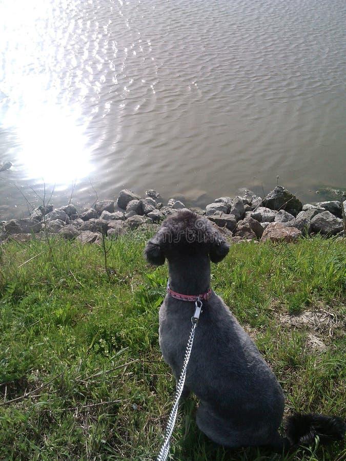 Собака на реке стоковое изображение rf