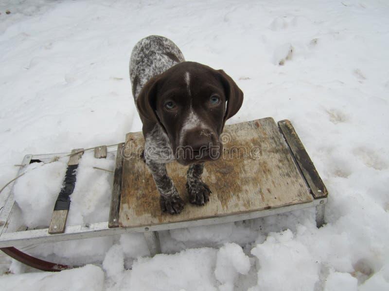 Собака на санях стоковые изображения rf