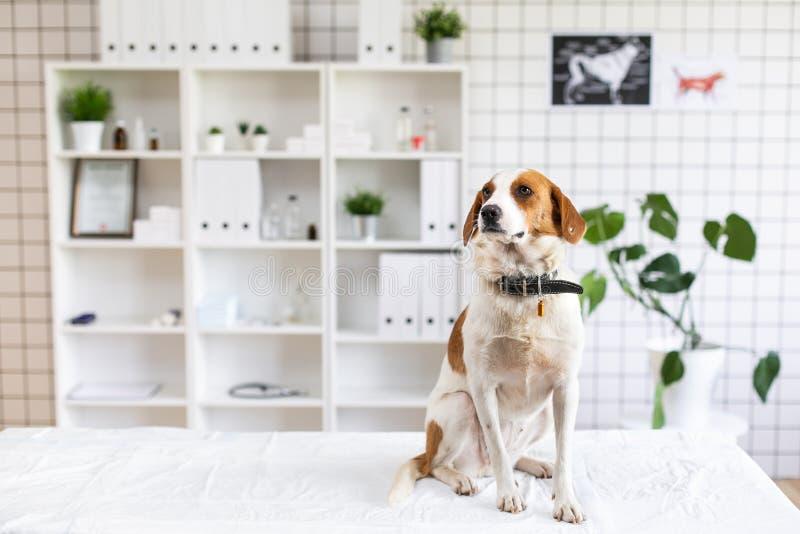Собака на таблице в ветеринарной клинике Ожидание доктора Запачканная предпосылка ветеринарной клиники стоковое фото