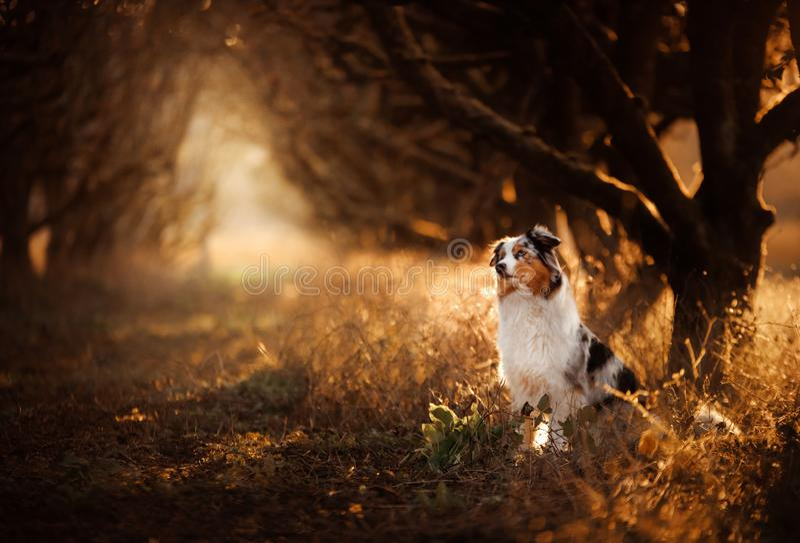 Собака на тропе Мистическое место, деревья Австралийский чабан в природе стоковое фото rf