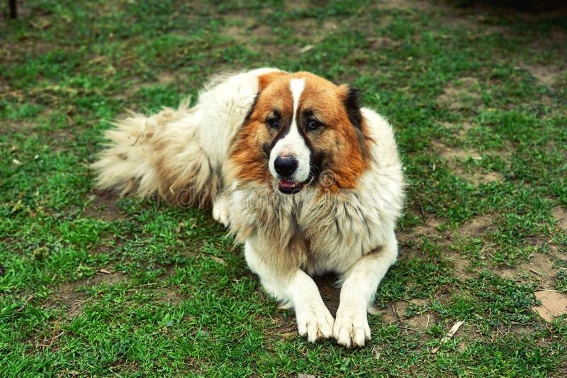 Собака на улице кавказский чабан стоковое изображение rf