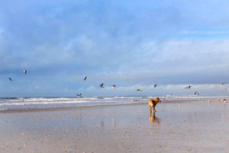 Собака на чайках охотясь на пляже стоковое изображение