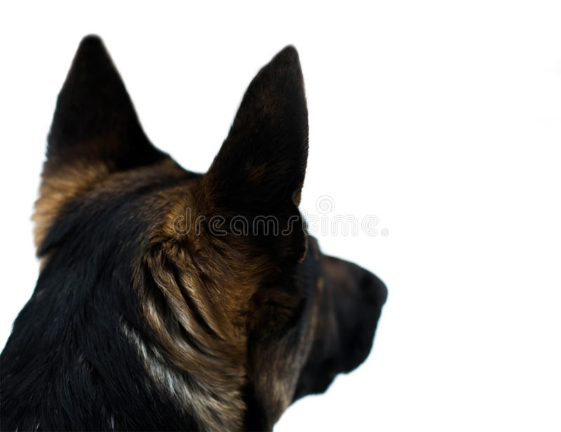 Собака немецкого чабана стоковые изображения