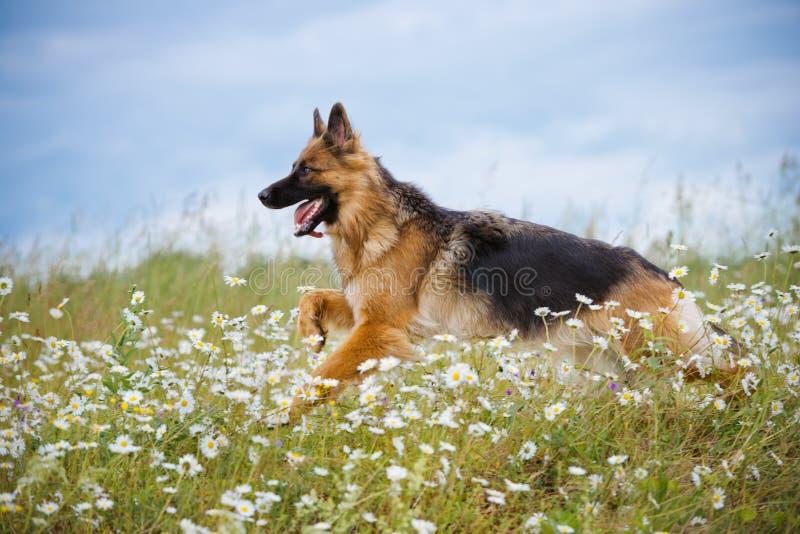 Собака немецкой овчарки бежать на поле стоковое изображение