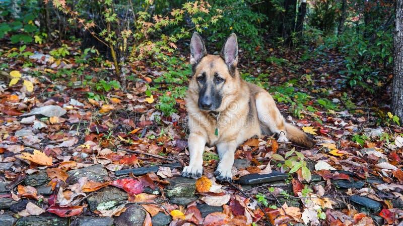 Собака немецкой овчарки в листьях падения стоковая фотография rf