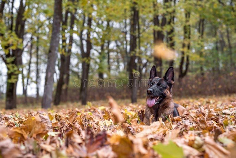 Собака немецкой овчарки лежит на траве Падать листьев осени стоковое фото