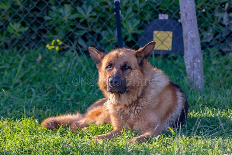 Собака немецкой овчарки связанная вверх на загородке которая отдыхает после длинной прогулки с владельцем на его стороне стоковое фото