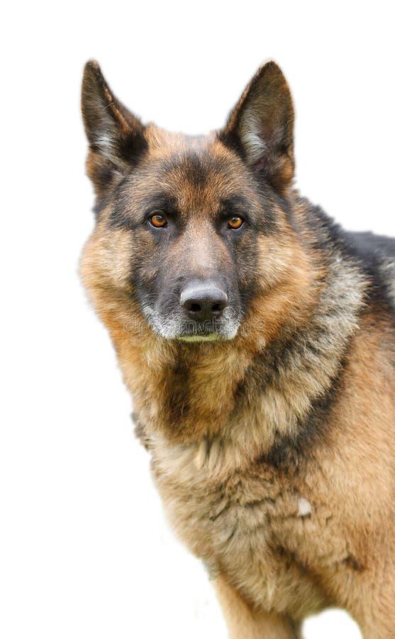 Собака немецкой овчарки сидя на белой предпосылке стоковые изображения