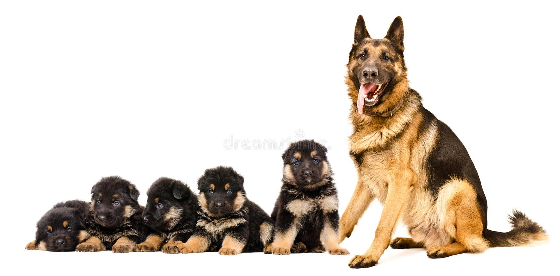 Собака немецкой овчарки, сидя с щенятами стоковые изображения